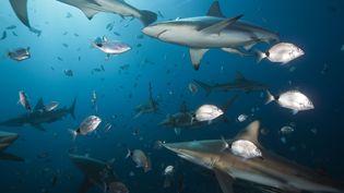 Des requins bordés dans l'océan Indien, au large de l'Afrique du Sud. (DIRSCHERL REINHARD / AFP)