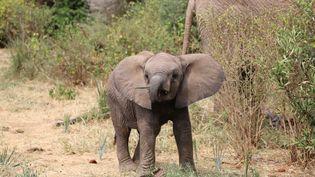 Un éléphanteau récemment né au Kenya qui voit sa population d'éléphants nettement remonter ces 30 dernières années, le 7 septembre 2020. (CHARLOTTE SIMONART / RADIOFRANCE)