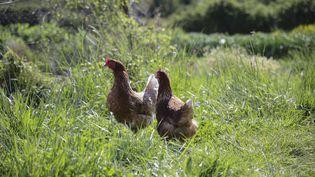 Deux poules rousses élevées en plein air dans une ferme écologique à Fontarèches (Gard), le 20 avril 2016. (LODI FRANCK / SIPA)