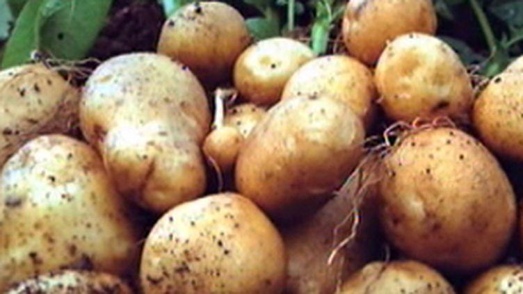 Des pommes de terre Amflora, génétiquement modifiées, autorisées par Bruxelles (F2)