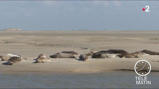 Pas-de-Calais : la traque aux tueurs de phoques