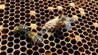 Des abeilles sur le cadre d'une ruche, le 7 avril 2017. (MAXPPP)
