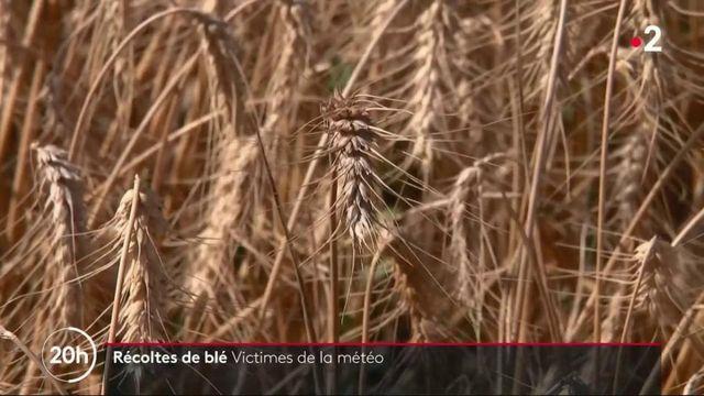 Agriculture : les céréaliers victimes de la météo