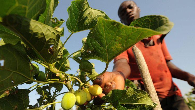 Fruits du jatropha dont les graines donnent une huile abondante. Cette huile est un excellent agro-carburant. (KAMBOU SIA / AFP)