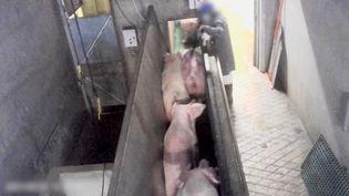 L'association de défense des animaux L214 a diffusé le 4 mai des images de truies brutalisées et à l'agonie dans un abattoir à Briec (Finistère).  (ASSOCIATION L214)