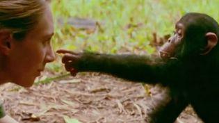 Jane Goodall et un jeune chimpanzé en Tanzanie.  (France3/Culturebox)