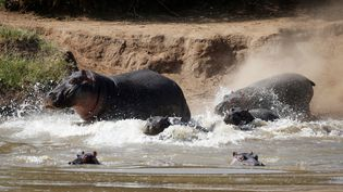 Des hippopotames dans une rivière du comté de Laikipia, au Kenya, le 7 janvier 2018. (BAZ RATNER / REUTERS)