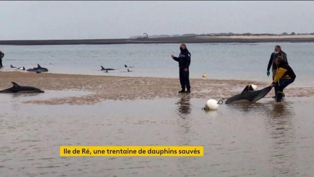 Sauvetage de dauphins sur l'île de Ré