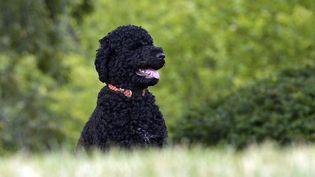 Sunny, la chienne des Obama, le 9 septembre 2013 à Washington (Etats-Unis). (JEWEL SAMAD / AFP)