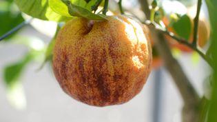 Le citron meyer sanguin se reconnaît facilement à sa peau striée de rouge. (ISABELLE MORAND / ISABELLE VAUCONSANT / RADIO FRANCE / FRANCE INFO)