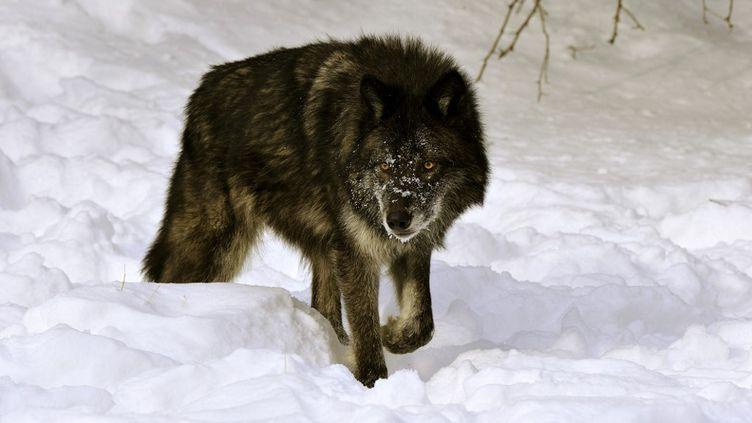 Un loup noir photographié dans le Montana (illustration). (PIERRE VERNAY / BIOSPHOTO / AFP)
