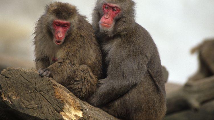 Des macaques japonais, le 26 septembre 2016. (LEEMAGE)