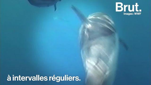 Un oeil ouvert, une moitié de cerveau éveillée et des allers-retours vers la surface. Voilà comment les dauphins dorment.