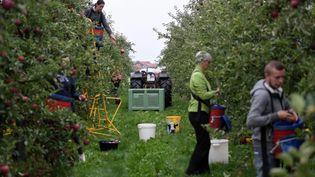 Des travailleurs saisonniers cueillent des pommes dans un verger de Rumegies, dans le Nord. (illustration) (PIERRE ROUANET / MAXPPP)