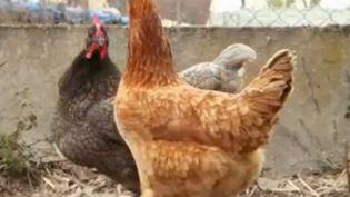Des poules pondeuses (France 2)
