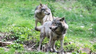 Des loups dans le parc Alpha, à Saint-Martin-Vésubie (Alpes-Maritimes), le 26 mai 2017. (LAURE BOYER / HANS LUCAS / AFP)