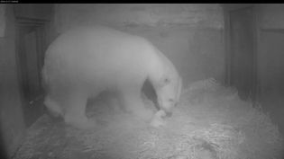Le 3 décembre 2014, naissance du bébé ourson dans le zoo deRostock en Allemagne (ZOO ROSTOCK / AFP)