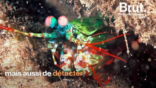 La crevette-mante est une espèce de crustacée dotée d'une des meilleurs visions au monde et d'un coup de pince redoutable.