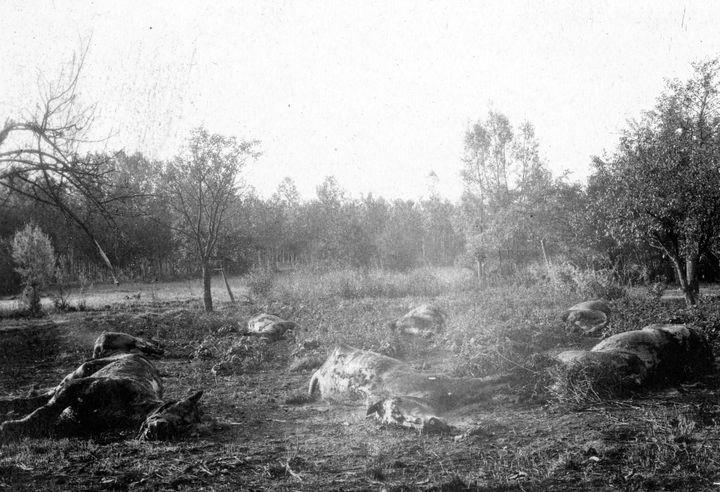 Des cadavres de chevaux dans un champ belge, en septembre 1918. (FRANTZ ADAM / AFP)