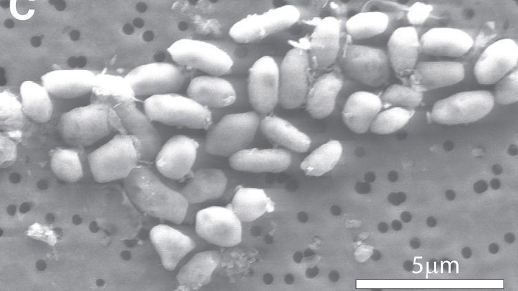 La bactérieGFAJ-1 scannée par la Nasa. (NASA / REUTERS)