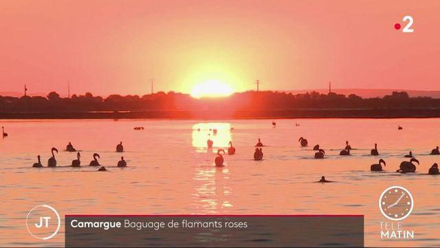 Camargue: baby-boom chez les flamants roses