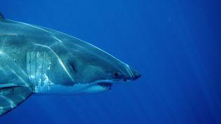 Depuis septembre 2011, cinq attaques meurtrières de requins ont été recensées au large de la côte australienne. (REINHARD DIRSCHERL / BILDERBERG / AFP)