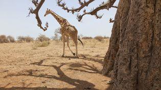 La réserve de Kouré, où a eu lieu l'attaque meutrière, abrite les dernières girafes d'Afrique de l'Ouest et est un site fréquenté par les expatriés. (THIERRY BRESILLON / GODONG)