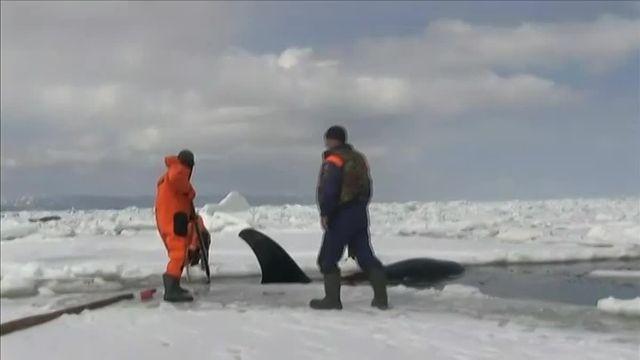 Trois orques ont été libérés de leur prison de glace, mardi 19 avril, près de l'île de Sakhaline en Russie.