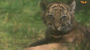 Capture d'écran d'une vidéoprésentant le tigre de Sumatra népendant la période de confinement, le 20 mai 2020, au zoo de Wroclaw, en Pologne. (ZOOM DE WROCLAW / FRANCEINFO)