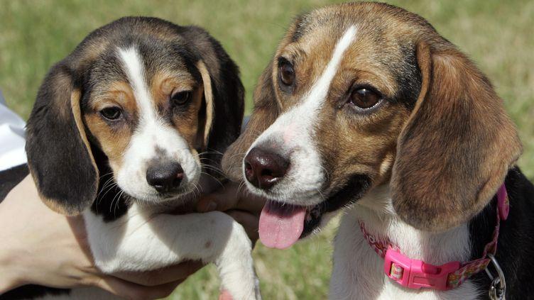 Ruppy (D), un beagle cloné en 2008,porteur de gènes fluorescents, et son chiot, présentés à l'université de médecine vétérinaire de Séoul (Corée du Sud), le 13 mai 2009. (JO YONG HAK / REUTERS)