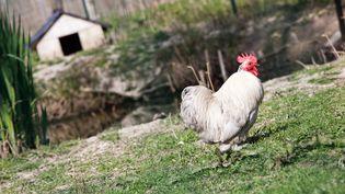 Un coq de la ferme du Ramier, dans le Tarn-et-Garonne, le 27 mars 2020. (PATRICIA HUCHOT-BOISSIER / HANS LUCAS / AFP)