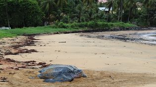 Une tortue luth sur la plage de Remire-Montjoly, près de la Guyane. (Association Kwata)