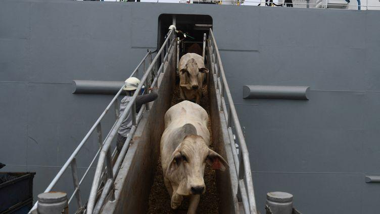 Du bétailest déchargé d'un navire au port de Tanjung Priok, Jakarta, le 15 avril 2021 (illustration). (DASRIL ROSZANDI / AFP)