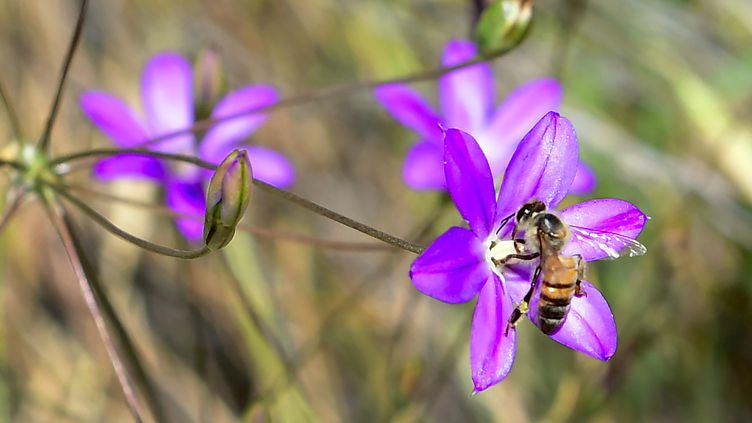 Une abeille en train de polliniser une fleur, le 12 mai 2017, en Californie. (Photo d'illustration) (FREDERIC J. BROWN / AFP)