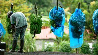 Trois pesticides utilisés sur les bananes aux Antilles sont accusés d'être dangereux pour la santé. (REGIS DOMERGUE / BIOSPHOTO / AFP)