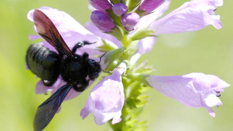 Une abeille charpentière, également appeléeXylocopa violacea. (CHRISTIAN PUYGRENIER /AFP)