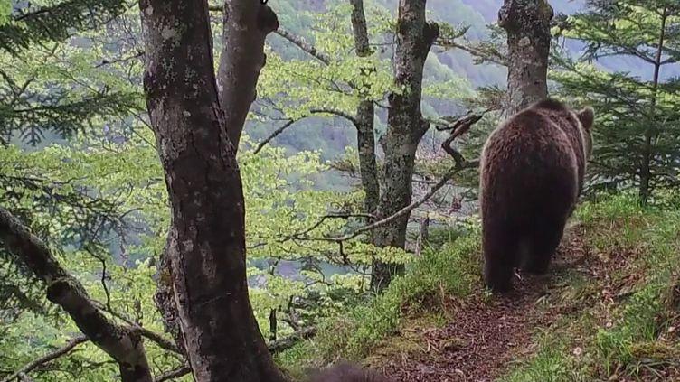 Depuis 2004 et l'abattage d'un ours qui avait suscité la polémique, le gouvernement a poursuivi les introductions de cette espèce dans la région. Comment concilier élevage et préservation de l'espèce ? La cohabitation n'est pas si évidente avec les bergers. (FRANCE 2)