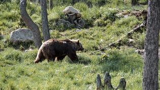 Un ours brun dans les Pyrénées orientales françaises, le 10 novembre 2010. (FRILET PATRICK / HEMIS.FR / AFP)