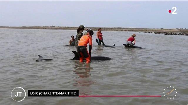 Île de Ré : piégés par la marée, 17 dauphins s'échouent