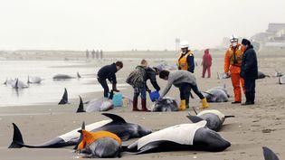 Les sauveteurs s'activent autour de dauphins échoués sur une plage à Hokota (Japon), vendredi 10 avril. (ASUSHO KAJI / THE YOMIURI SIMBUN / AFP)