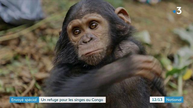 Animaux : en République Démocratique du Congo, elles s'occupent de chimpanzés