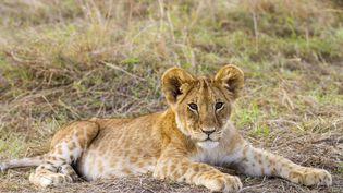 Le nombre de lions africains a reculé de 43% depuis 1993, selon une étude publiée lundi 10 juillet 2017. (MICHEL & CHRISTINE DENIS-HUOT / BIOSPHOTO / AFP)