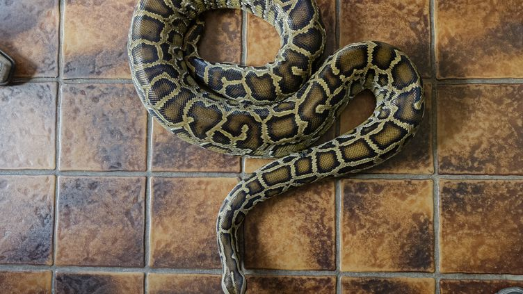 Les jeunes femmes ont découvert le python dans un immeuble en plein centre-ville de Pau. Photo d'illustration. (MARKUS SCHOLZ / DPA)
