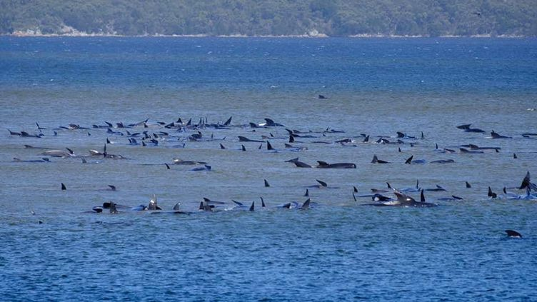 Des globicéphales coincés dans la baie de Macquarie Harbour (Australie), le 21 septembre 2020. (SOCIAL MEDIA / REUTERS)