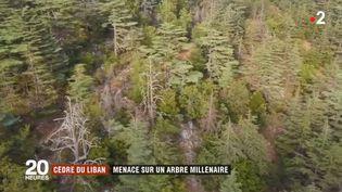 Les cèdres du Liban souffrent du réchauffement climatique (FRANCE 2)