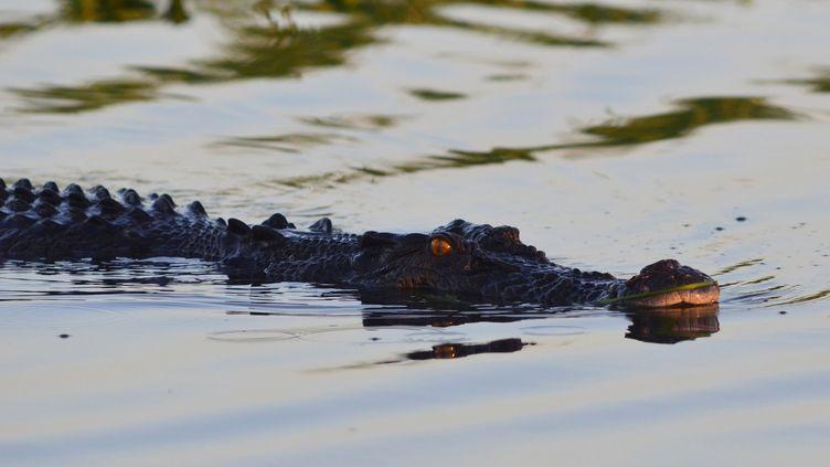 Un crocodileprès de Darwin, la capitale du Territoire du Nord (Australie), le 12 octobre 2011. (ANTOINE LORGNIER / ONLY WORLD / AFP)