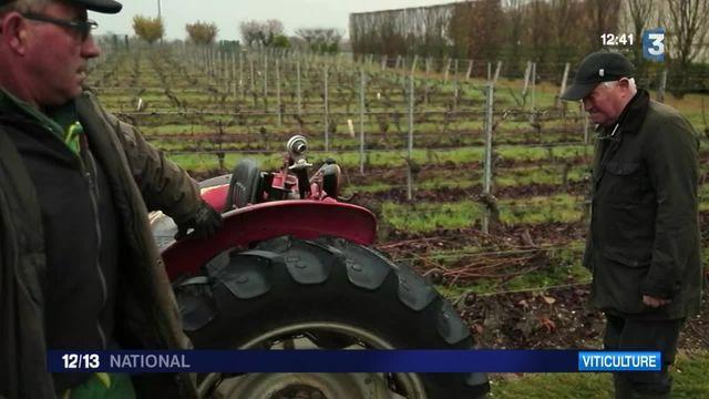 Viticulture : la maladie de l'esca tue les vignes