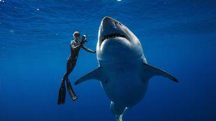 La plongeuse Ocean Ramsey nage aux côtés d'un immense requin blanc en janvier 2019 au large d'Hawaï. (@JUANSHARKS/ JUAN OLIPHANT /ONEOCEANDIVING.COM / AFP)