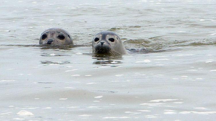 De phoques en baie de Somme. (KARINE DELMAS / LA VOIX DU NORD / MAXPPP)