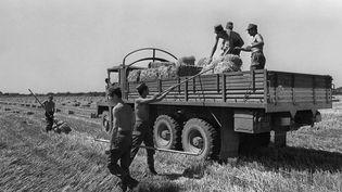 Des militaires ramassentdu fourragequi sera ensuite acheminé vers des régions déficitaires, victimes de la sécheresse, le12 juillet 1976 à Saint-Gilles-du-Gard (Gard). (AFP)